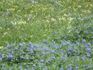 Telluride Wildflowers